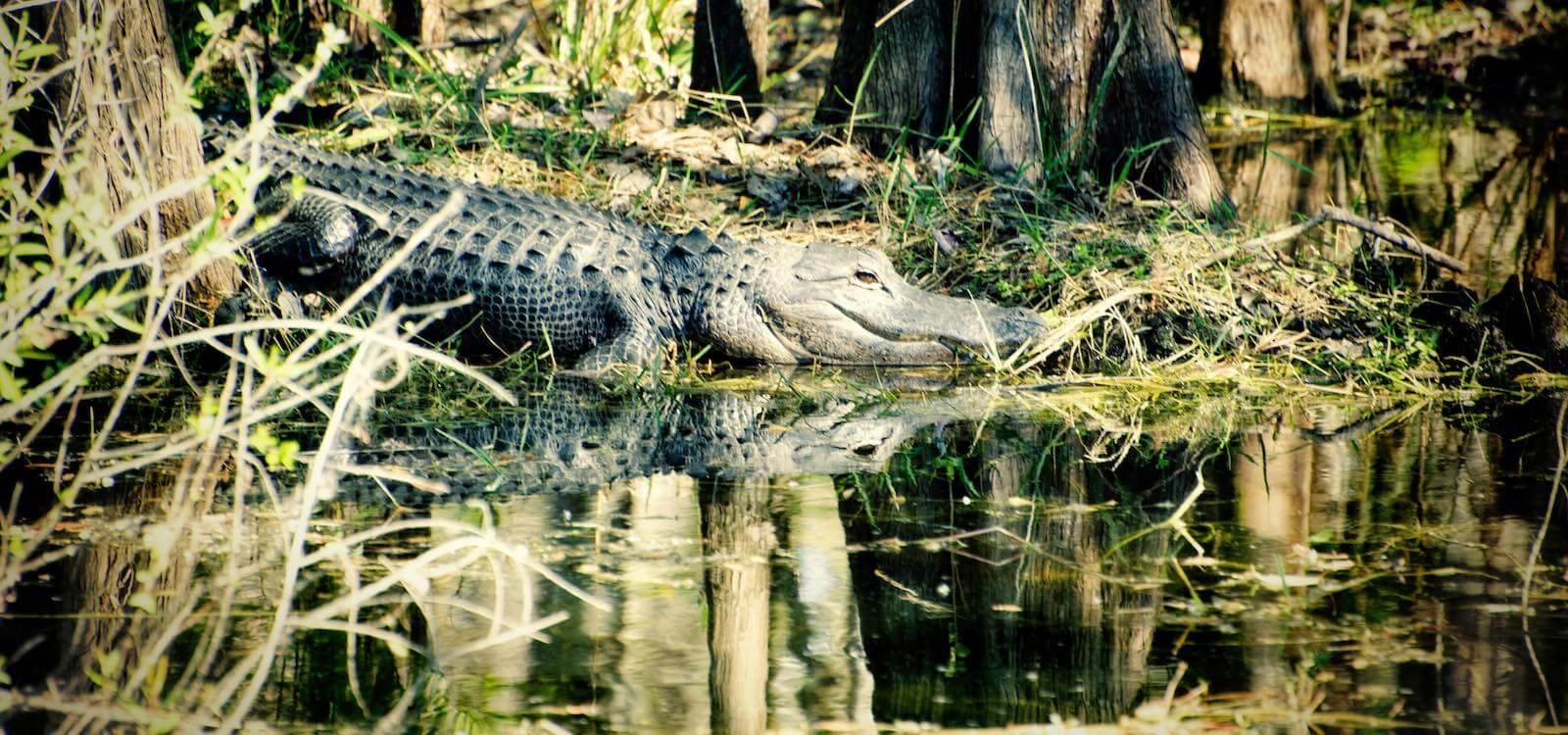 must-do-florida-everglades-wildlife-alligator