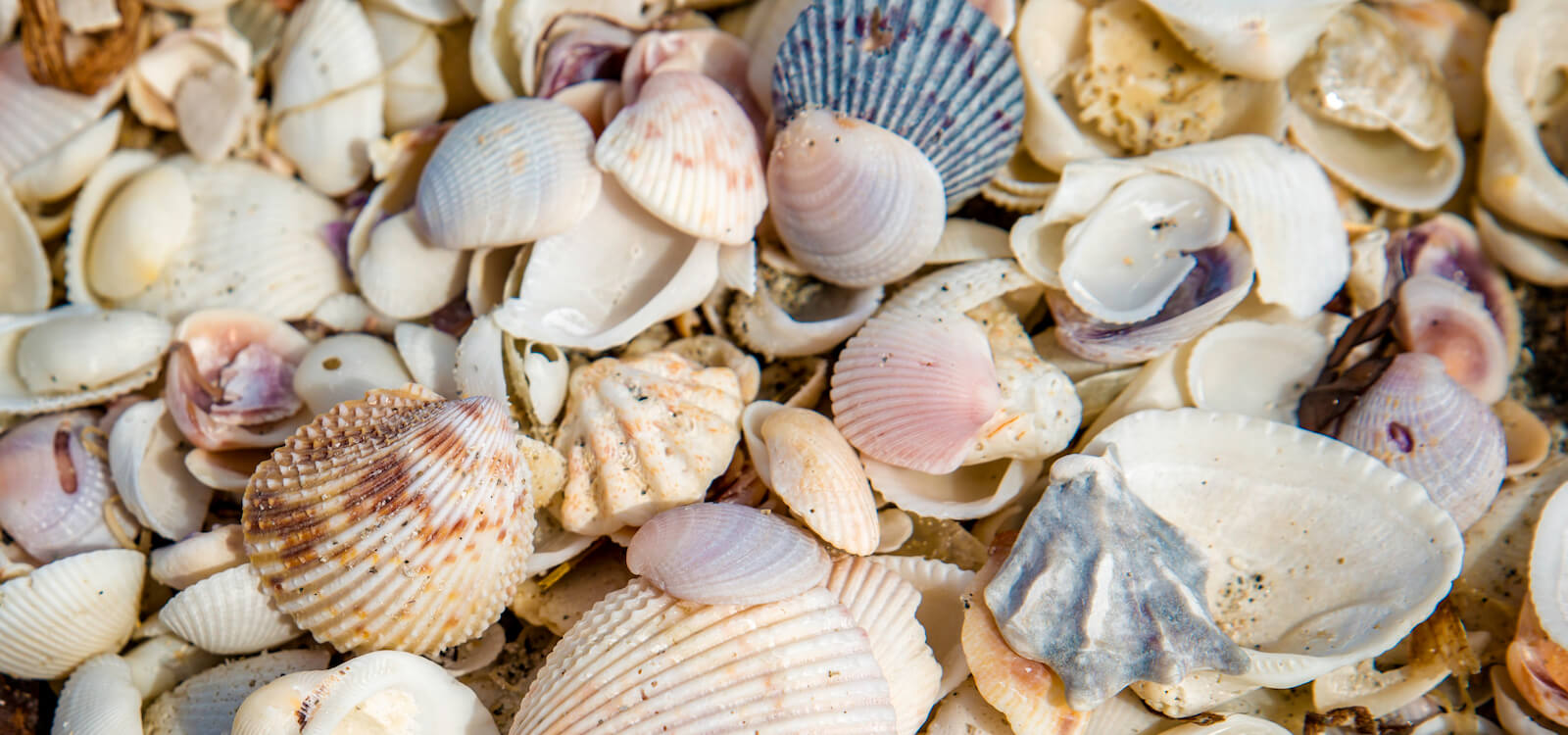 MustDo.com | Florida beach shells. Must Do Visitor Guides