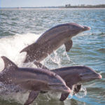 MustDo.com | Adventures in Paradise located in Fort Myers, Florida offers thrilling dolphin and wildlife cruises each morning and afternoon. Manatees and dolphins are frequently spotted along with flocks of birds heading back to their Everglades rookeries for the night.