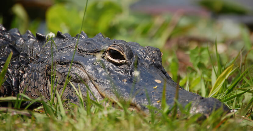 See alligators, birds and other wildlife on a tram tour at J.N.