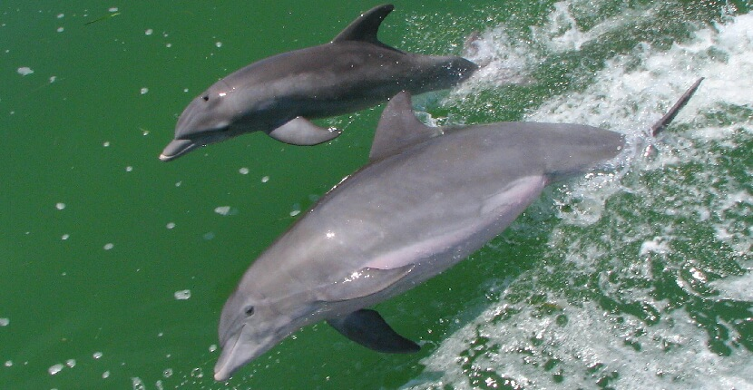 MustDo.com | See dolphins on a cruise with Captiva Cruises on Captiva Island, Florida. Shelling and wildlife cruises are offered daily. Must Do Visitor Guides Florida vacation information.