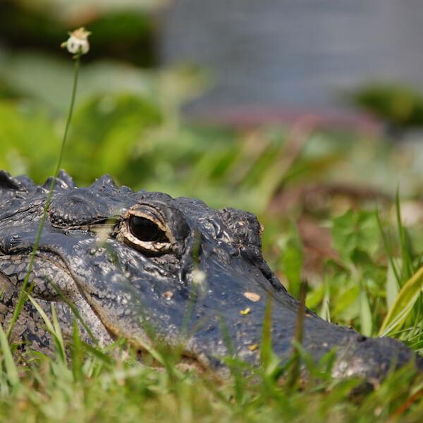 "See alligators, birds and other wildlife on a tram tour at J.N. ""Ding"" Darling Wildlife Refuge on Sanibel Island. Must Do Visitor Guides, MustDo.com."
