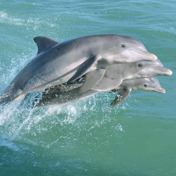 MustDo.com | Dolphins jump in the wake of a Captiva Cruises wildlife cruise. Captiva Island, Florida.