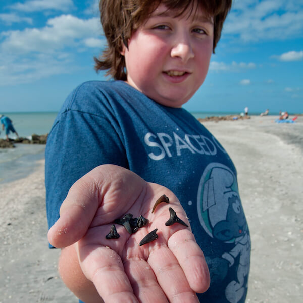 Prehistoric sharks' teeth of all types and sizes can often be found washed up on beaches in Venice, Florida. Caspersen Beach, hunting for sharks teeth