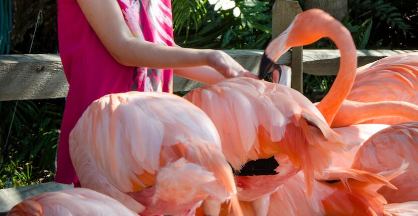 Hand-feed flamingos, Sarasota Jungle Gardens family fun attraction has been a Sarasota area favorite since 1939 and is home to more than 200 native and exotic animals. Sarasota Jungle Gardens also features 10 acres of tropical vegetation and jungle trails. Photo by Jennifer Brinkman. Must Do Visitor Guides, MustDo.com