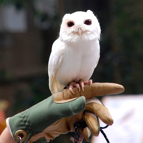 luna-the-owl-at-peace-river-wildlife-center-punta-gorda-fl