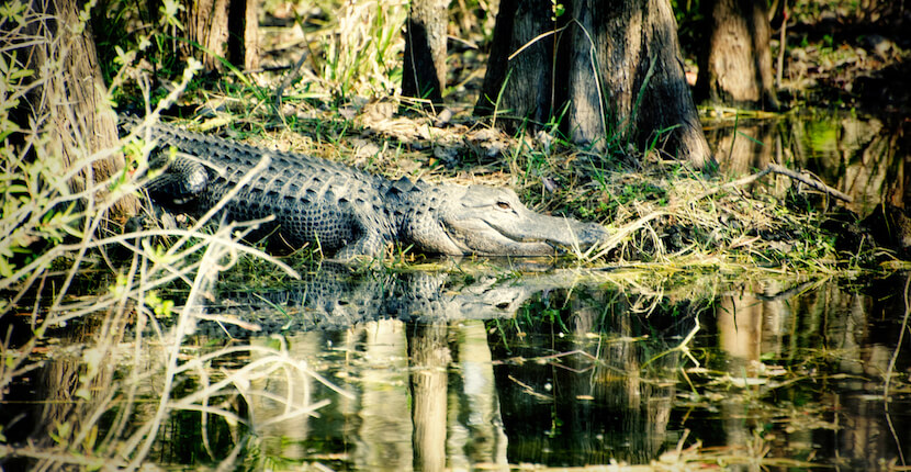 MustDo.com | Alligator sits on the banks of the water sunning Everglades, Florida. Take an airboat safari tour to explore this national park near Naples with an eco-trained guide to see native plants & wildlife. Photo by Jennifer Brinkman.