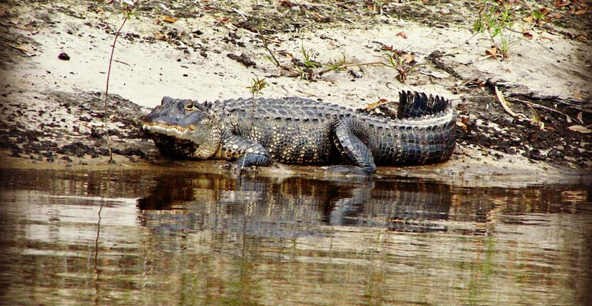 Alligator on the bank of the Peace River in Arcadia, Florida. Scenic and exciting family friendly Peace River air boat tours Sarasota, Arcadia, Florida. Must Do Visitor Guides, MustDo.com