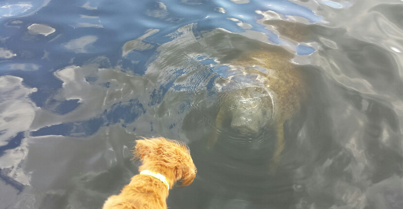 MustDo.com | See Manatees Guaranteed tour boat - dog Bella looks down at a manatee in the water Naples, Florida.