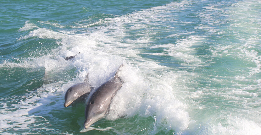 Dolphins jump and play in the wake of a tour boat Sarasota, Florida. Must Do Visitor Guides, MustDo.com