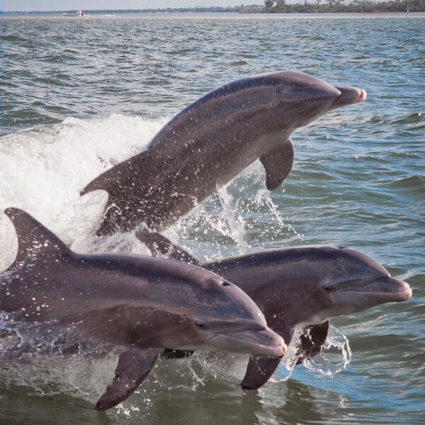 Dolphins jump and play in the wake of a tour boat. Must Do Visitor Guides, MustDo.com.