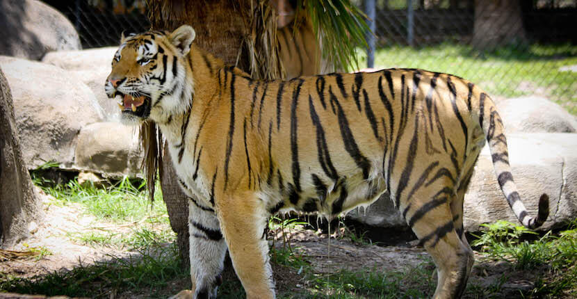 See and learn about exotic and endangered Siberian tigers, African lions, and rare White tigers at Sarasota's Big Cat Habitat and Gulf Coast Sanctuary. Also encounter bears, primates, birds, and other animals. Be entertained by the individual personalities of the animals during educational training demonstrations. There are a petting Zoo and special events throughout the year. Photo by Debi Pittman Wilkey. Must Do Visitor Guides, MustDo.com.