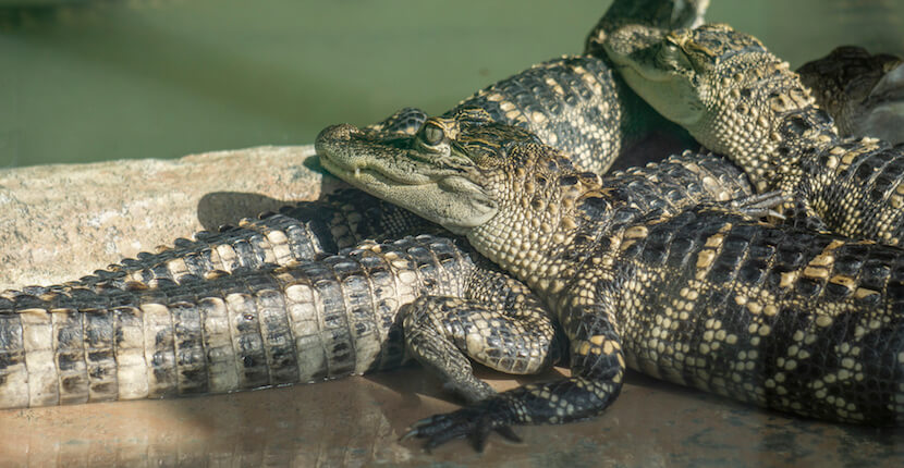 MustDo.com | See alligators at Wooten's Everglades Animal Sanctuary and Alligator Park near Naples and Marco Island, Florida. Must Do Visitor Guides, photo by Jennifer Brinkman.