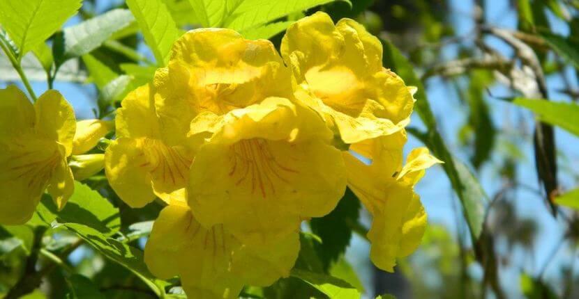 Yellow blossoming shrub Sanibel Moorings Botanical Gardens tour Sanibel Island, Florida. Must Do Visitor Guides, MustDo.com