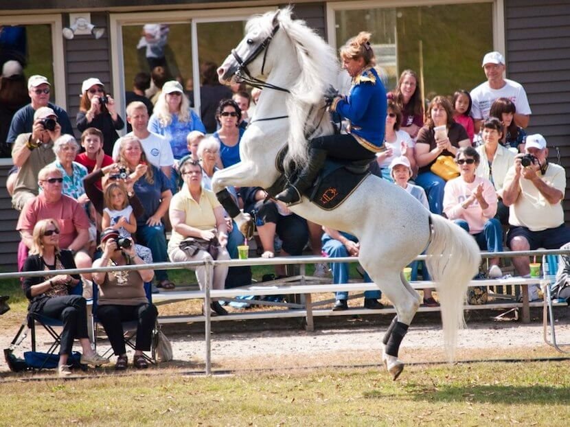 Watch the amazing Herrmanns' Royal Lipizzan Stallions perform their equestrian moves at their winter training home in Myakka City (Sarasota) Florida. Must Do Visitor Guides, MustDo.com