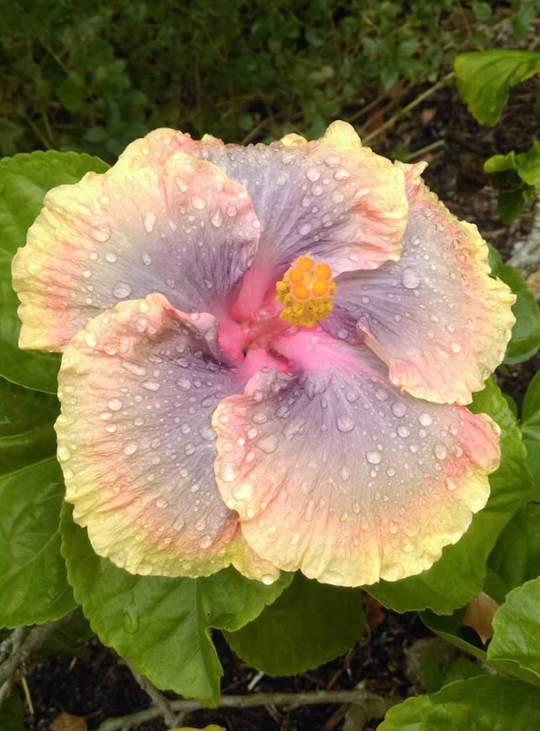 Yellow and pink Hibiscus Sanibel Moorings Botanical Garden Sanibel Island, Florida.
