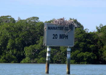 Nesting ospreys on an Intracoastal sign in the Rookery Bay Reserve Naples, Florida. Must Do Visitor Guides, MustDo.com