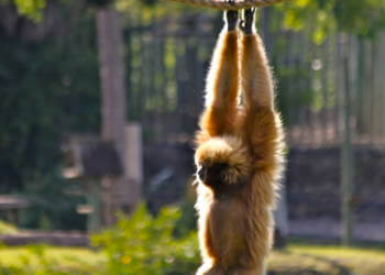 Naples Zoo, see primates, ring-tailed lemurs and cheeky monkeys on their own private islands. They have plenty of trees to climb and love showing off by swinging from ropes or chasing each other. Photo by Lauren Ettinger. Must Do Visitor Guides, MustDo.com
