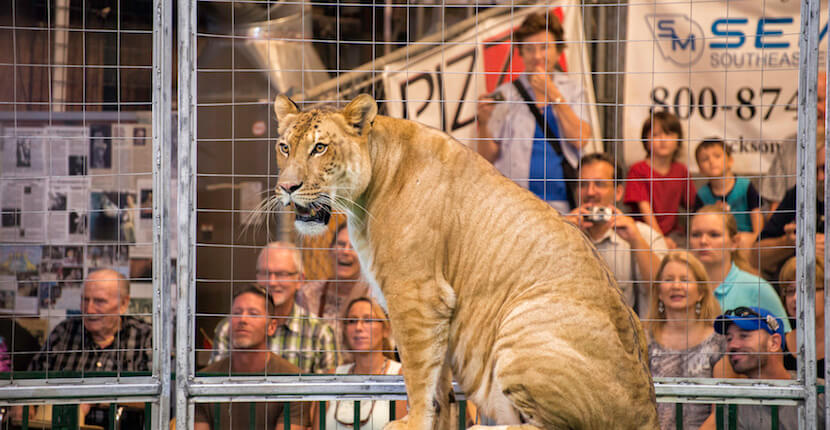Animal show with lions, tigers, chimps, and more at Big Cat Habitat and Gulf Coast Sanctuary in Sarasota, Florida. Photo by Jennifer Brinkman. | Must Do Visitor Guides