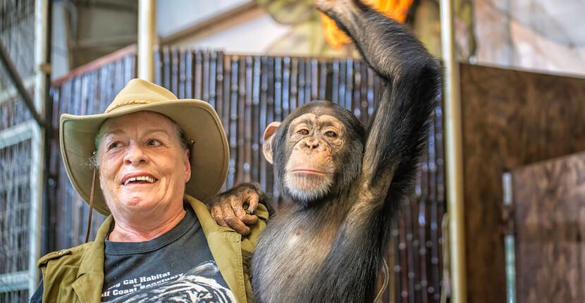 Big Cat Habitat chimp animal show Sarasota, Florida. Photo credit Jennifer Brinkman. Must Do Visitor Guides