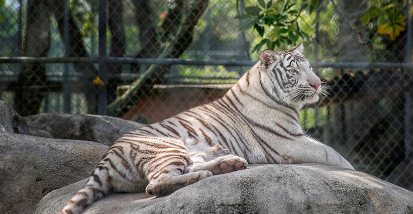 Siberian tiger Big Cat Habitat & Gulf Coast Sanctuary in Sarasota, Florida. Photo by Jennifer Brinkman | Must Do Visitor Guides
