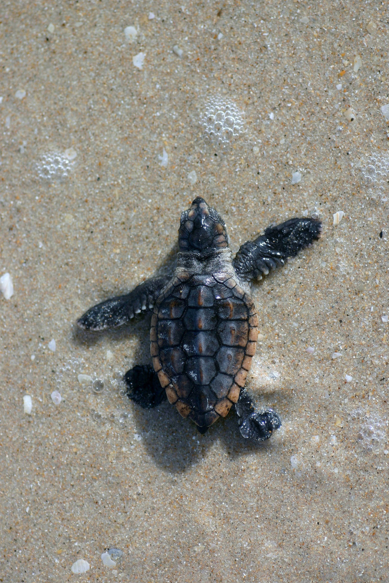 Loggerhead sea turtle hatching makes its way on the beach to the water photo by Florida Fish and Wildlife