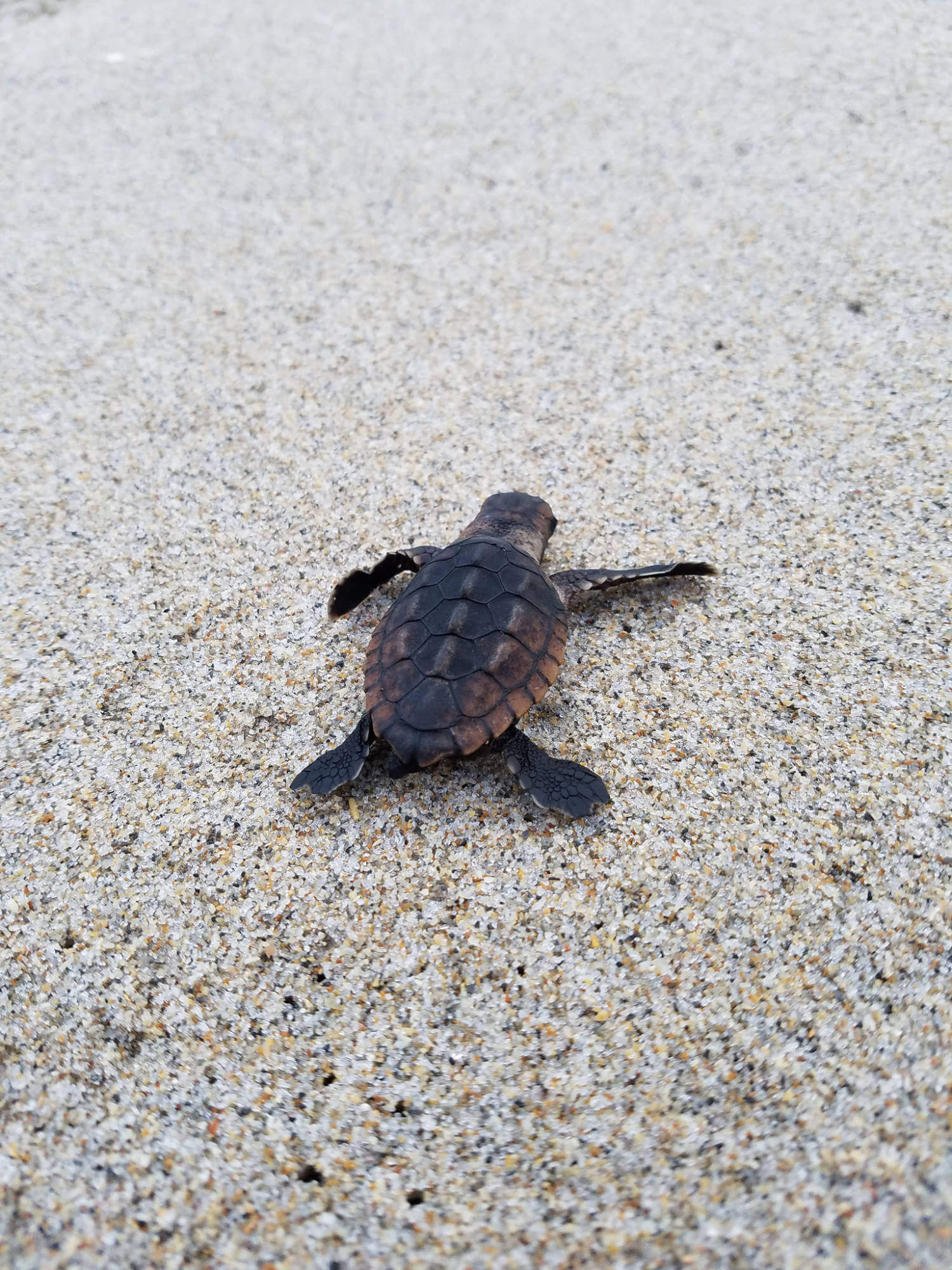 Baby sea turtles are born perfectly formed and able to swim. They are programmed to head for the sea, where they seek food and refuge in seaweed as they grow to maturity. Photo by Florida Fish & Wildlife | Must Do Visitor Guides, MustDo.com