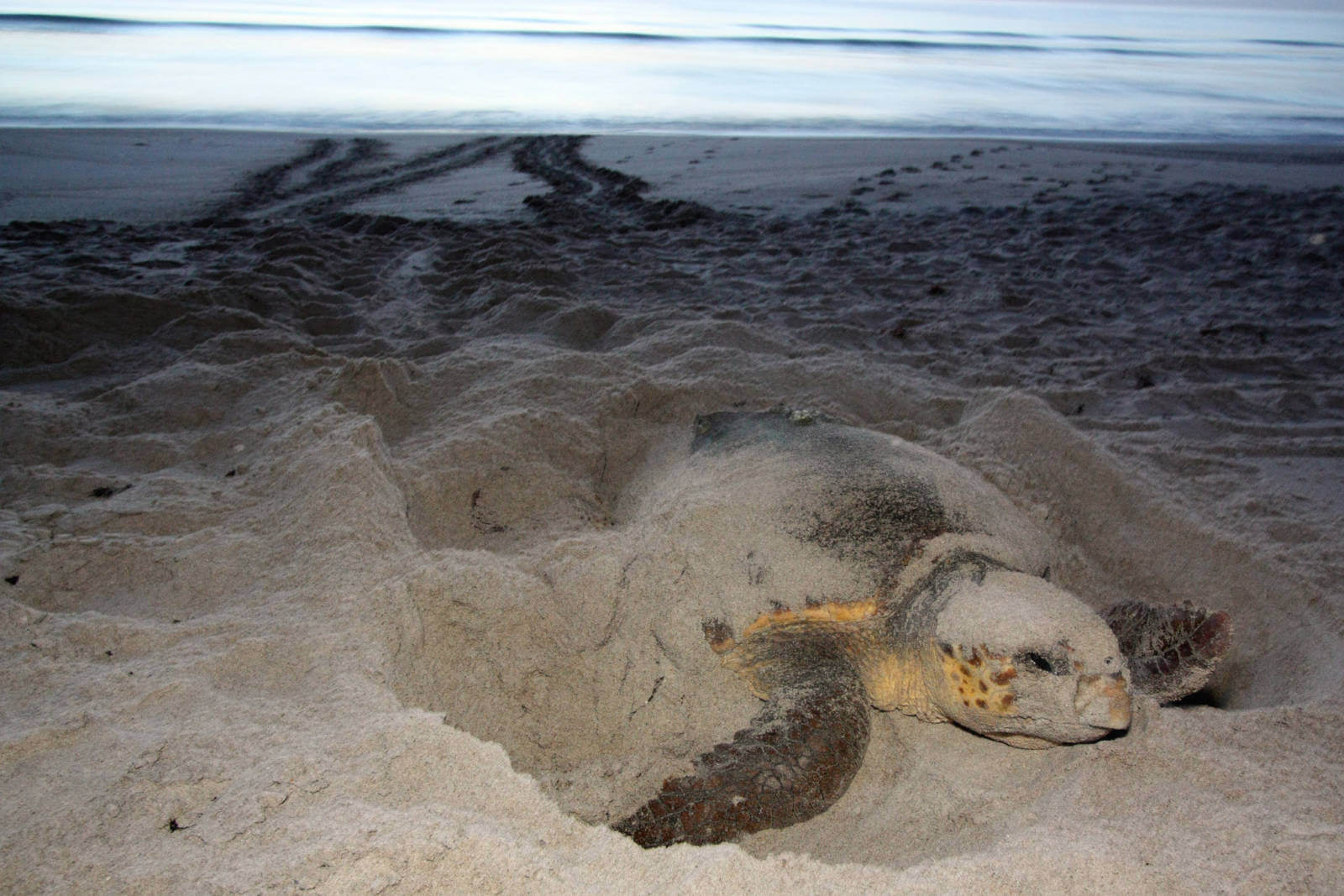 Nesting sea turtle on the beach photo credit Florida Fish & Wildlife | Must Do Visitor Guides, MustDo.com