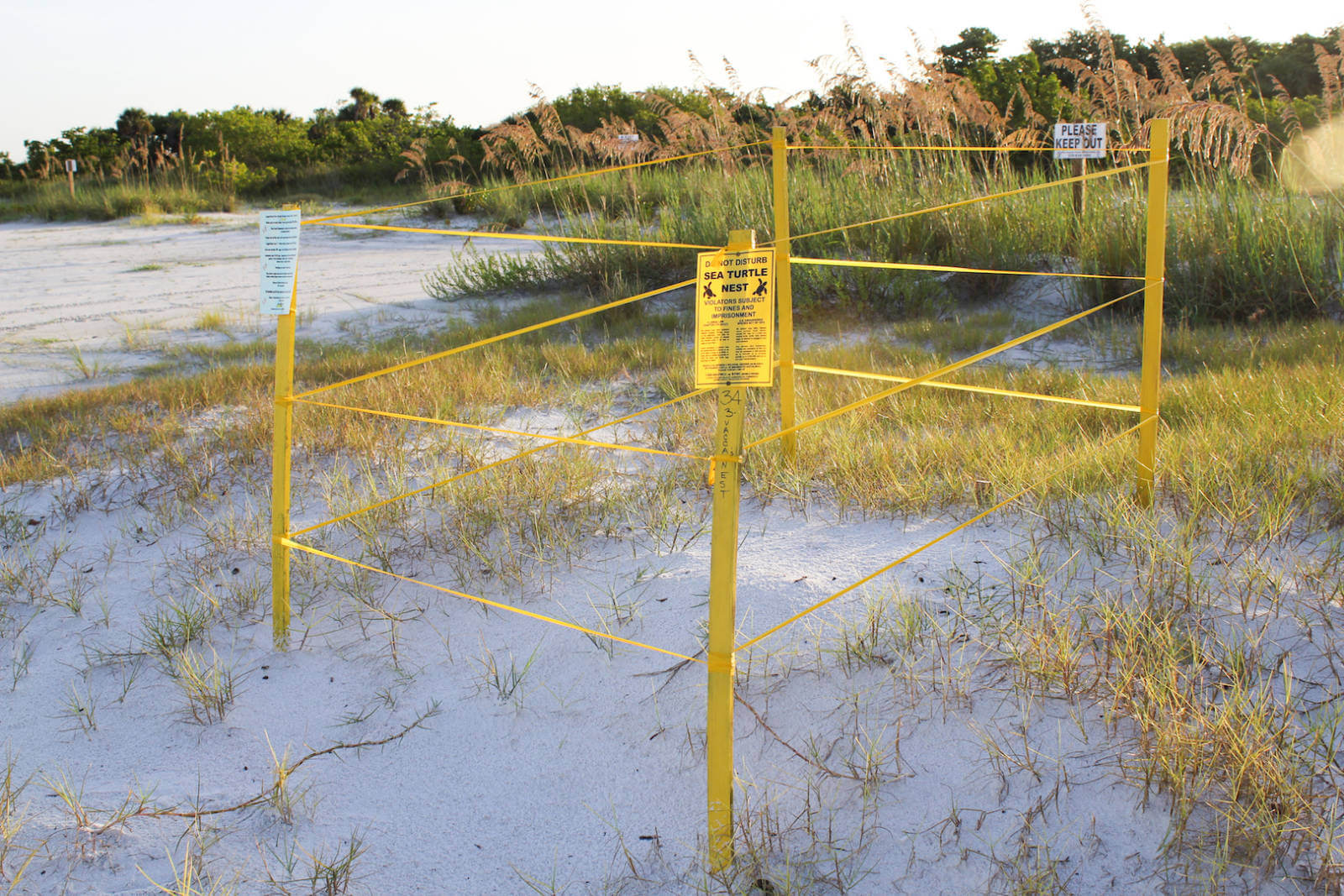 With literally thousands of turtle nests on Sarasota, Longboat Key, Siesta Key, Lid Key, Venice, Fort Myers Beach, Sanibel, Captiva, Naples, and Marco Island Florida beaches, it is very likely that you will see a marked turtle nest when visiting during the summer months. | MustDo.com