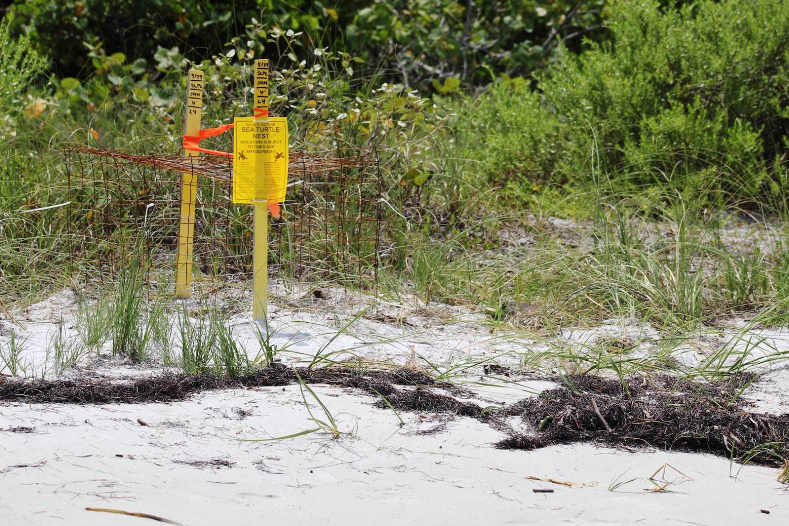 With literally thousands of turtle nests on Sarasota, Longboat Key, Siesta Key, Lid Key, Venice, Fort Myers Beach, Sanibel, Captiva, Naples, and Marco Island Florida beaches, it is very likely that you will see a marked turtle nest when visiting during the summer months. Must Do Visitor Guides. | MustDo.com