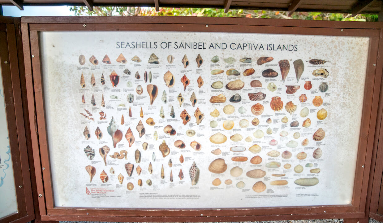 The reason why Sanibel is a top shelling destination is its east-west orientation on a shallow water plateau that stretches out into the Gulf of Mexico. It acts as a natural shelf for shells to collect. Photo by Jennifer Brinkman. #Sanibel #shelling #Florida #vacation