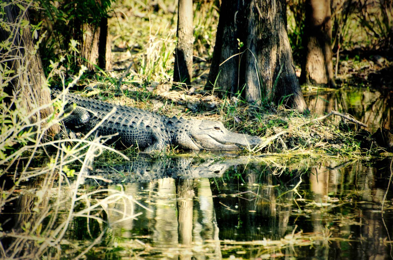 The Western Everglades is the only place in the world where you can find both alligators and crocodiles. Photo by Jennifer Brinkman