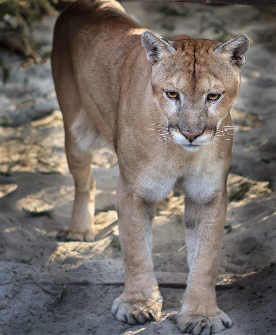 Surprising Facts About Naples, Marco Island and Everglades City. The Florida Panther Wildlife Preserve is the main home of endangered Florida Panthers. There are an estimated 120-160 adults remaining.