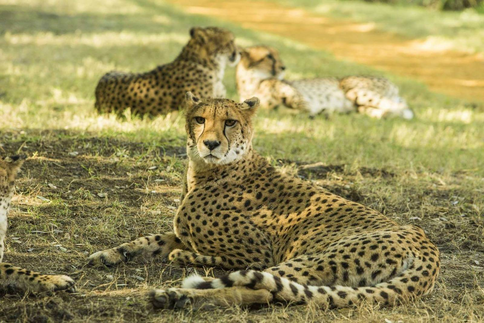 See African animals including cheetahs at Busch Gardens Tampa Bay. Must Do Visitor Guides, MustDo.com