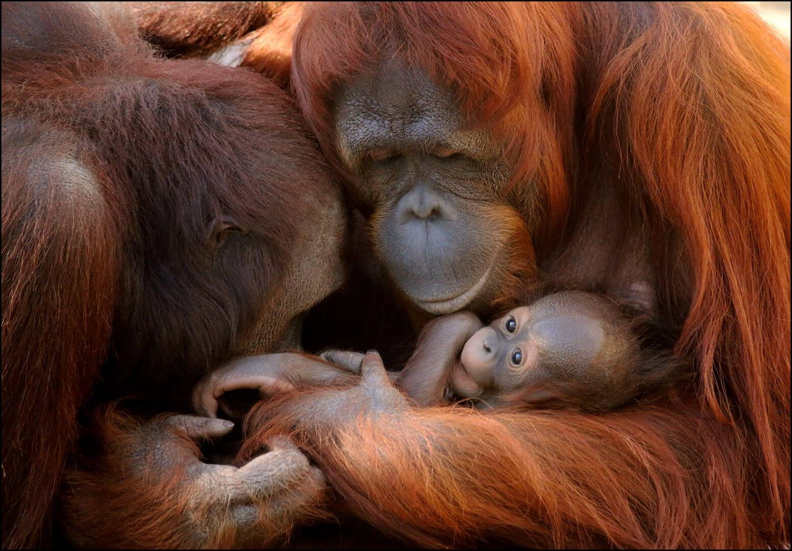 Orangutang mom, dad, and baby at Busch Gardens Tampa Bay. Must Do Visitor Guides, MustDo.com