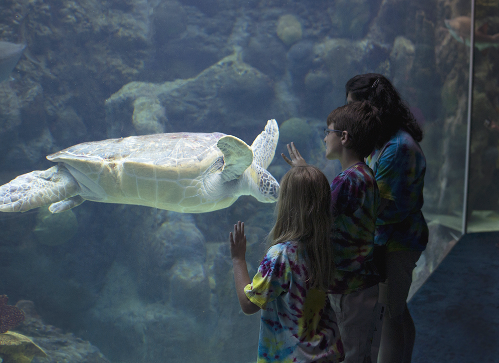 A sea turtle swims by visitors at The Florida Aquarium in Tampa. Photo credit The Florida Aquarium.