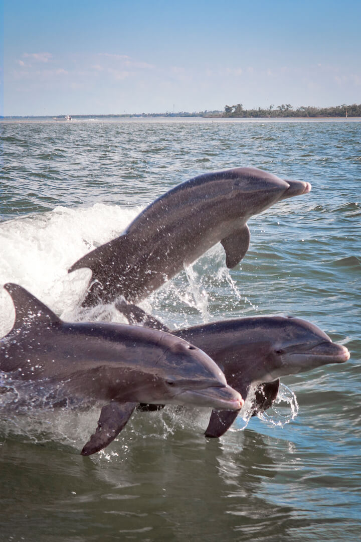 Dolphins play in the Pine Island Sound off Captiva Island. Photo Debi PIttman Wilkey. Must Do Visitor Guides, MustDo.com
