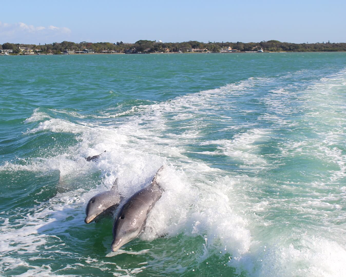 Dolphins play in the wake of a boat. Southwest Florida has dozens of opportunities to see dolphins whether from your beachfront balcony or on a tour. Must Do Visitor Guides, MustDo.com.