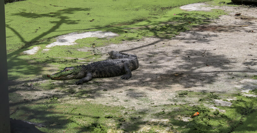 Everglades Wonder Gardens alligator on display plus botanical garden, flamingos, and other birds and reptiles Bonita Springs, Florida attraction near Naples and Fort Myers. Must Do Visitor Guides | MustDo.com. Photo by Nita Ettinger.