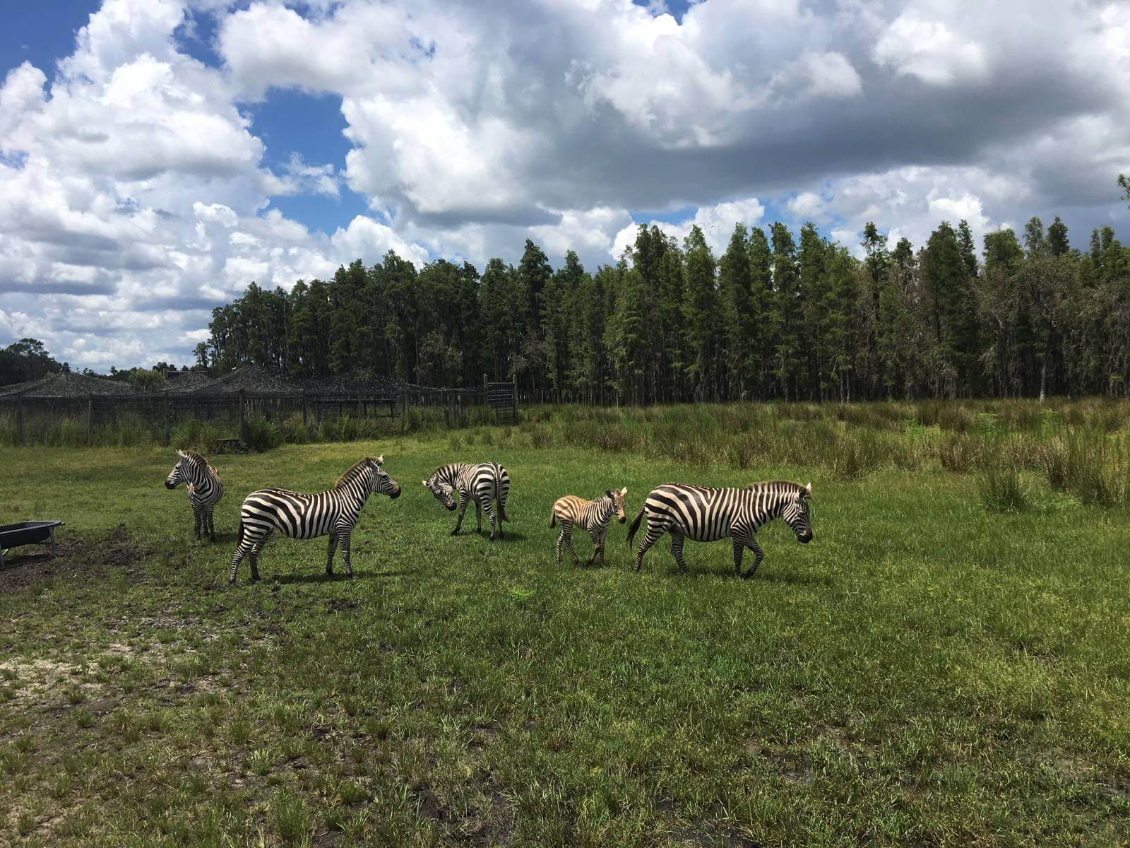 See zebras at Safari Wilderness in Lakeland, Florida which is an easy day trip from Sarasota. What to expect when you visit. Must Do Visitor Guides | MustDo.com