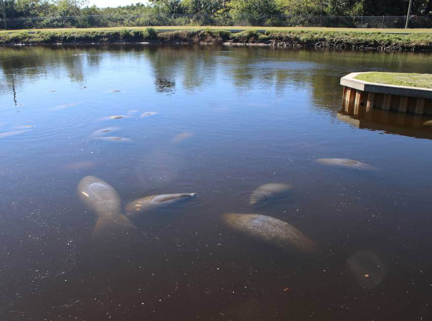 Manatees gather at Lee County Manatee Park Fort Myers, Florida. Photo by Nita Ettinger. Must Do Visitor Guides | MustDo.com