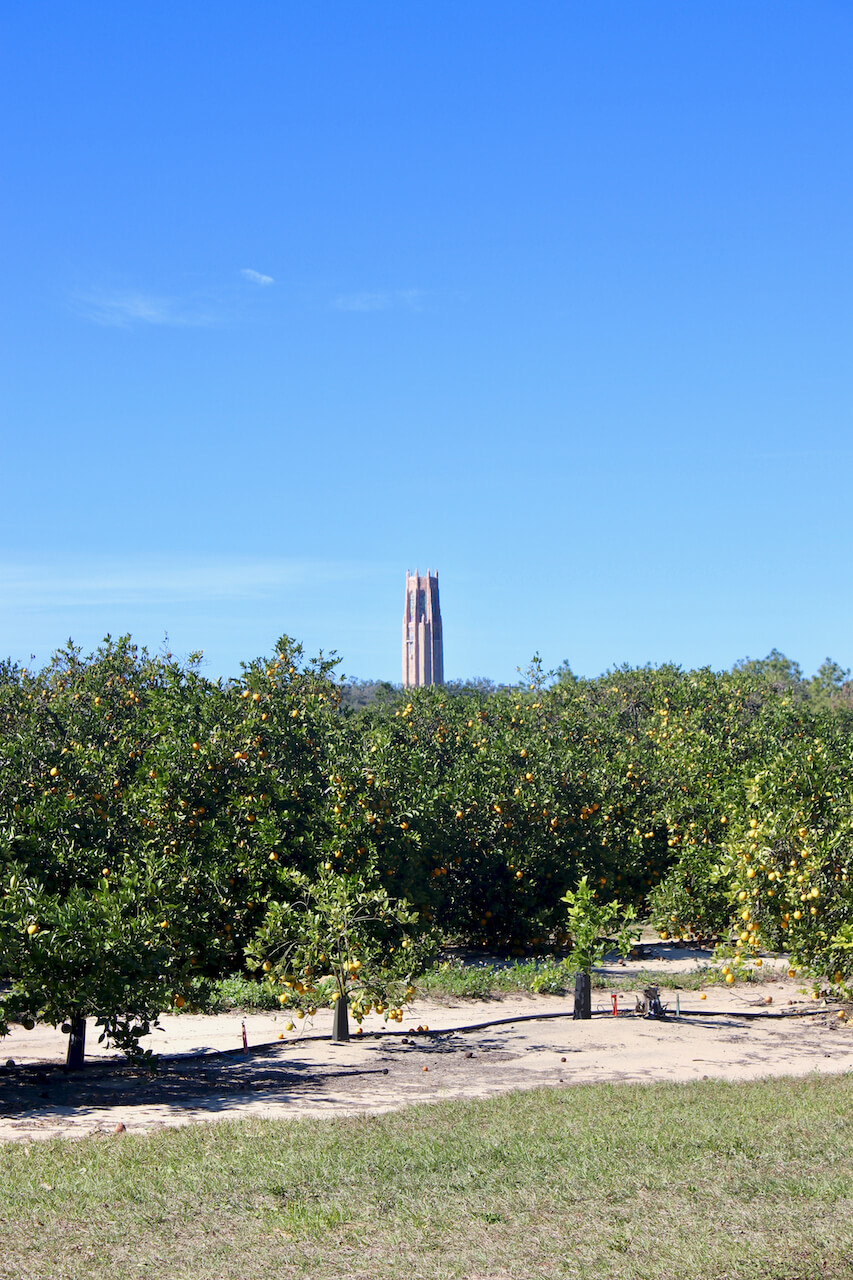 Orange trees with Bok Tower Gardens carillon bell tower in the background. Must Do Visitor Guides | MustDo.com
