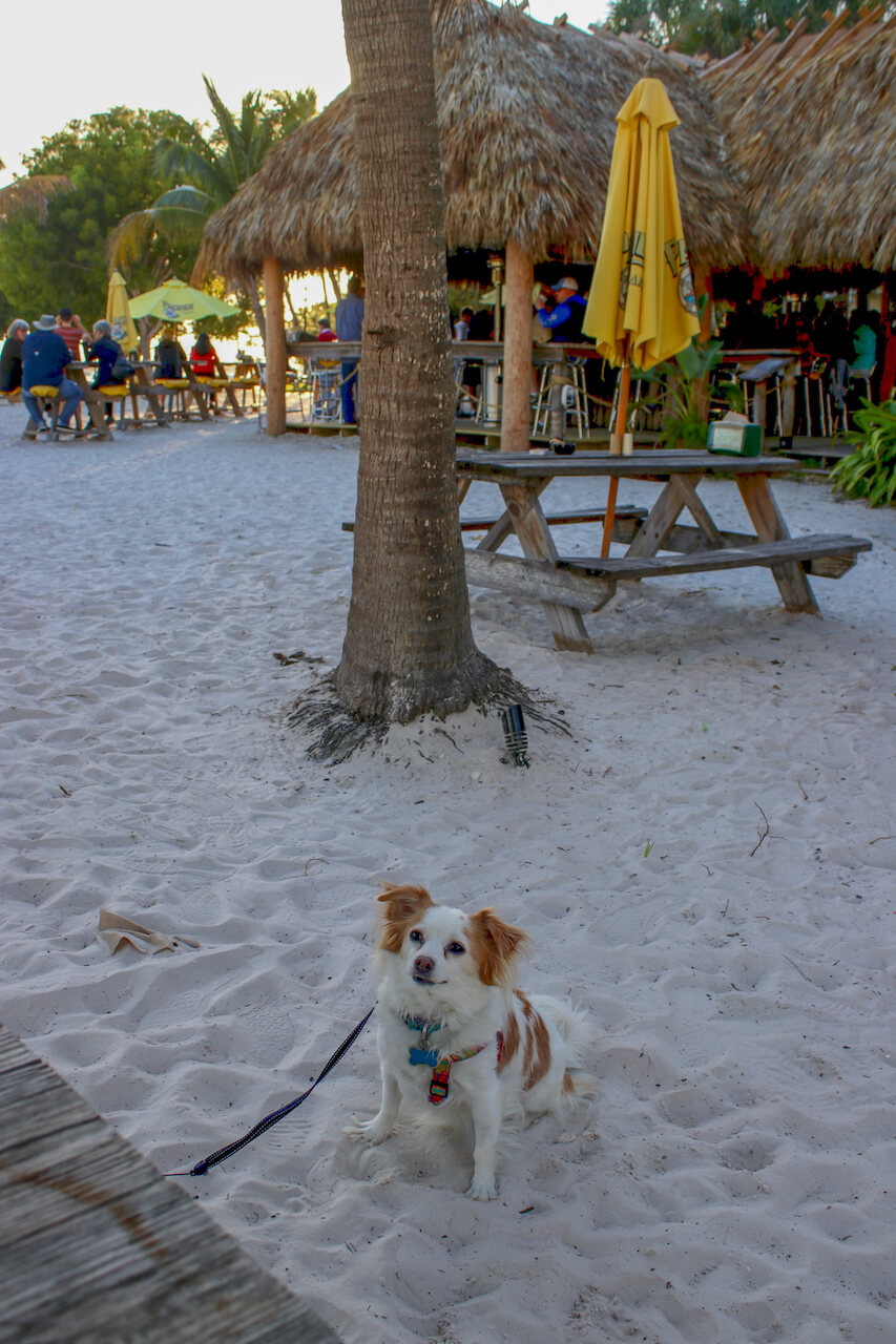 Enjoy a cold beer, cocktail, or wine under an umbrella with your toes in the sand or under the open-air , waterfront Tiki Hut at O'Leary's downtown Sarasota, Florida. Dog Friendly too! Must Do Visitor Guides, MustDo.com.