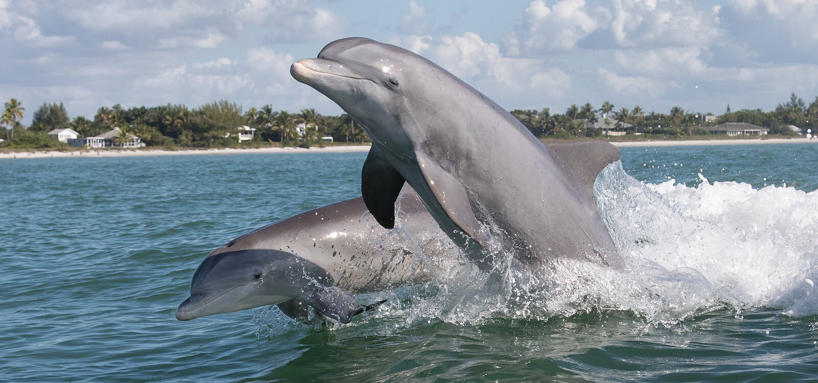 Dolphins can often be seen swimming alongside Naples and Marco Island, Florida sightseeing and wildlife tours. Must Do Visitor Guides | MustDo.com
