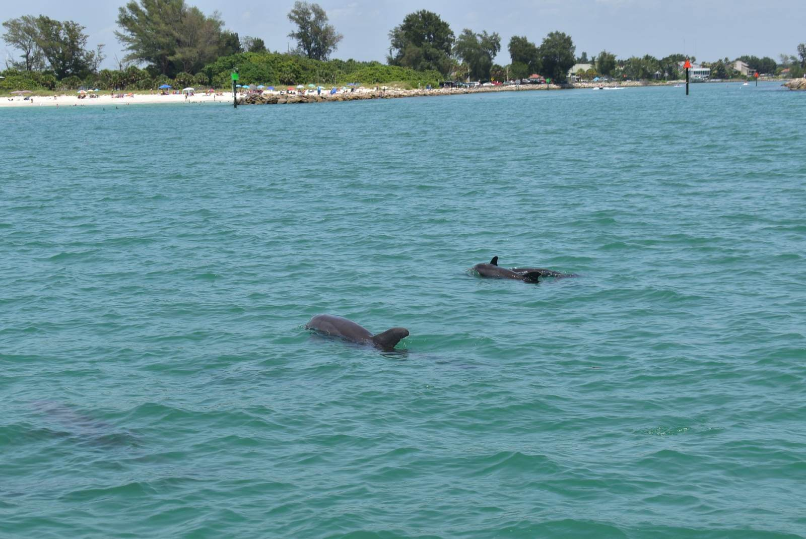 Dolphins swim in the Gulf of Mexico near Sail Venice sailing boat in Venice, Florida. Must Do Visitor Guides.
