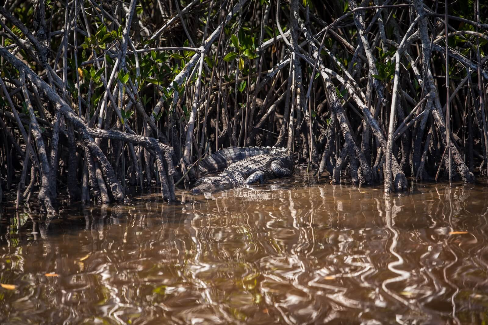 Alligator along the bank of mangroves in the Everglades near Marco Island, Florida.