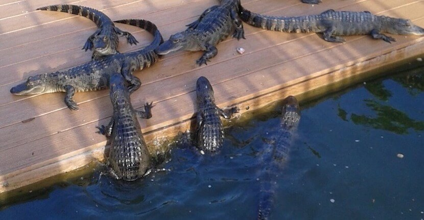 Feed baby alligators with a fishing pole at Smugglers Cove Adventure Golf in Fort Myers Beach, Florida.