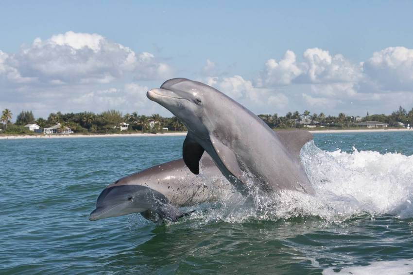 Two Bottlenose Dolphins jumping out of the water in southwest Florida. Must Do Visitor Guides | MustDo.com