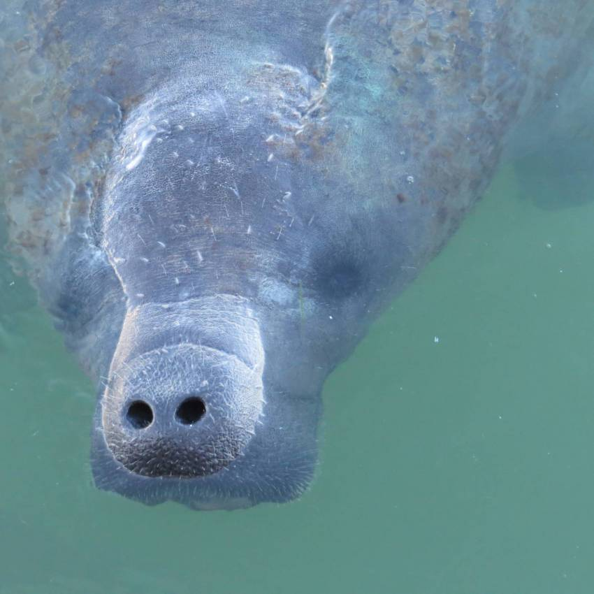 Manatee pokes his/her nose out of the water in Florida. Photo credit Bree  Silhavy. Must Do Visitor Guides | MustDo.com