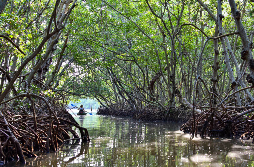 Serene guided kayak eco tours of Lido Key mangrove tunnels Sarasota, Florida. Photo credit Andrew Fabian. Must Do Visitor Guides | MustDo.com